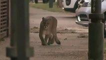 Capturan a un puma que deambulaba por las calles de Santiago de Chile