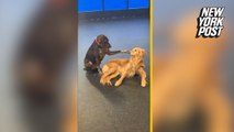 Dog hilariously pets other dogs at daycare