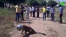 Sauvetage d'un jaguar qui a la tête coincée dans un pot