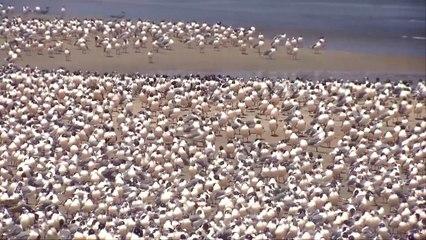 Nu de mens in lockdown zit nemen de vogels de stranden van Lima over