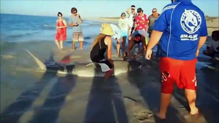 Des touristes sauvent un requin tigre piégé sur la plage