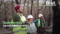 En Australie, les koalas sauvés des récents incendies retrouvent la liberté