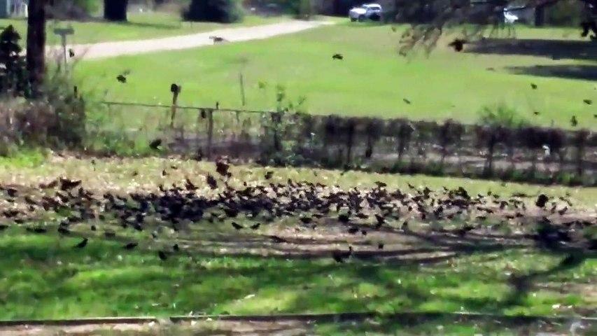 Quand tu reçois la visite de 2000 oiseaux en plein confinement... pas content