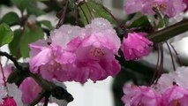 Chutes de neige inhabituelles pendant la saison des cerisiers en fleurs à Tokyo