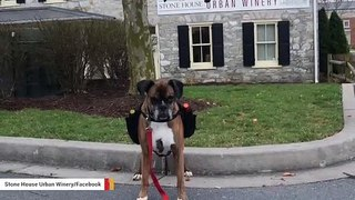 This Winery's Dog Is Making Curbside Deliveries During Coronavirus Outbreak