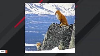 NPS Photo Of Foxes Doing Social Distancing Goes Viral