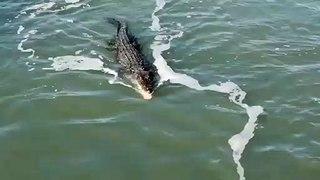Face à face entre un crocodile et un requin qui veulent manger le même poisson