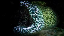 Face to Face with a Big Leopard Moray Eel