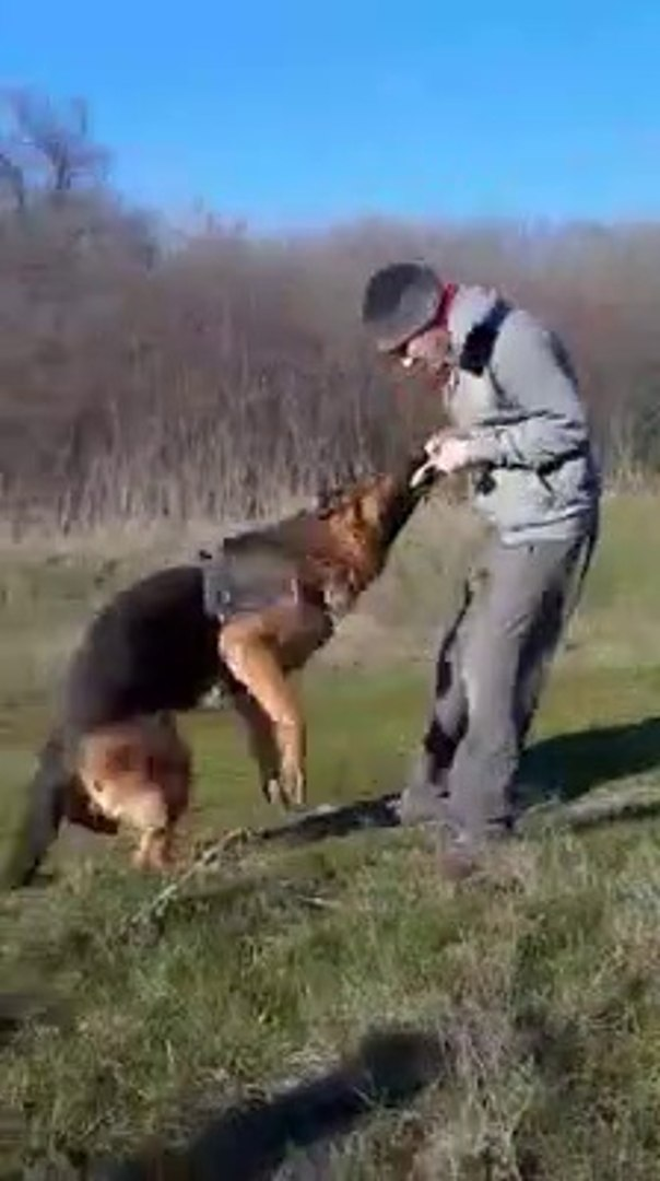 ALMAN COBAN KOPEGi k9 EGiTiMi - GERMANY SHEPHERD DOG EDUCATiON