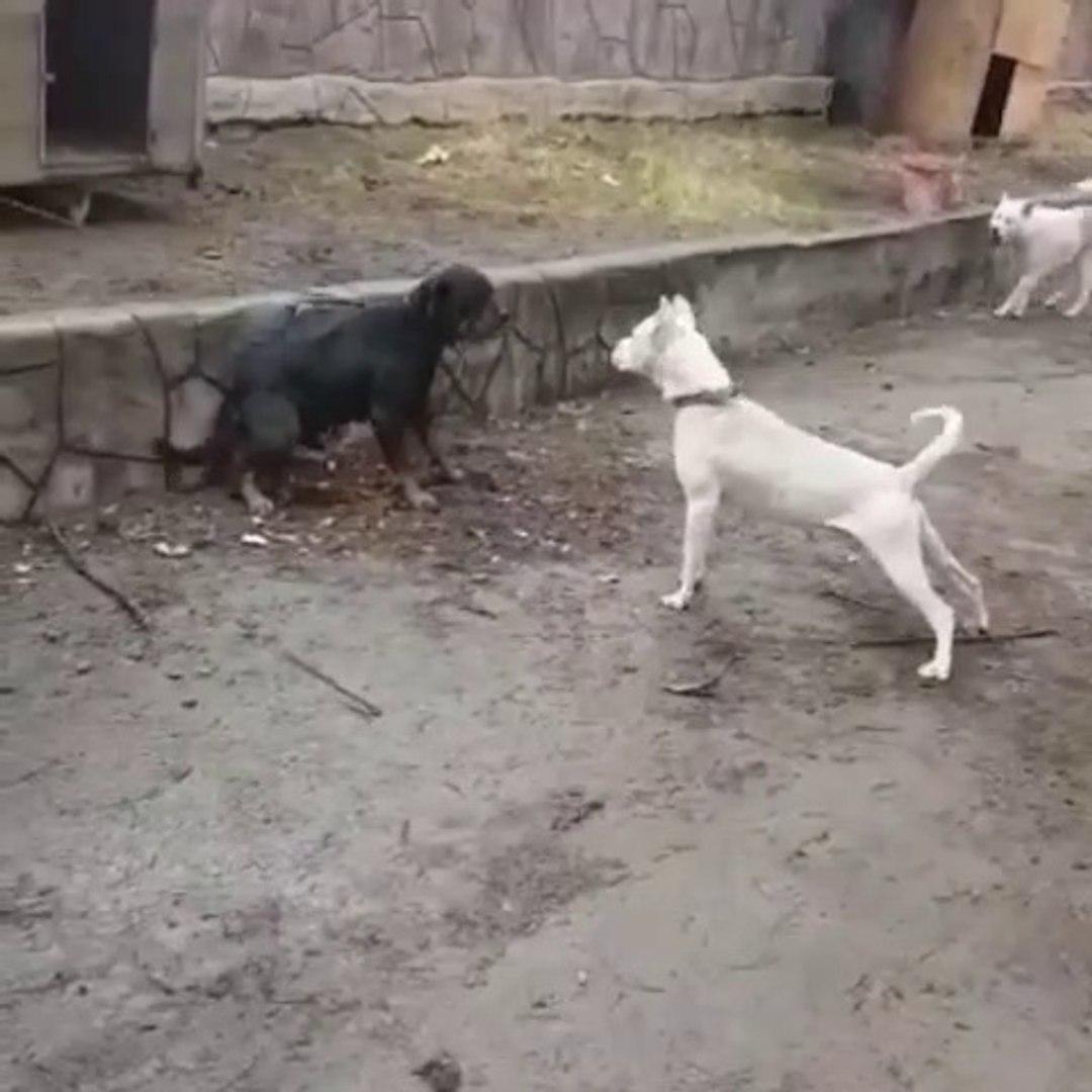 ROTTWEiLER vs DOGO ARJANTiN - ROTTWEiLER DOG vs DOGO ARGENTiNO
