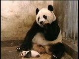 L'éternuement d'un Panda