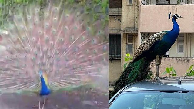 Peacock का Mumbai Roads पर Dance Video Viral | Peacock Dance Video in Mumbai Roads | Boldsky