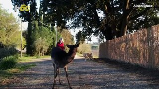 An Italian Deer Has Adopted a Family of Its Own