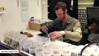 Park Staffer Livestreams How To Milk Deadly Spiders