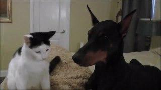 Amitié incroyable entre un chat et... un gros Doberman