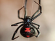 8 things you don't know about black widow spiders - ABC15 Digital