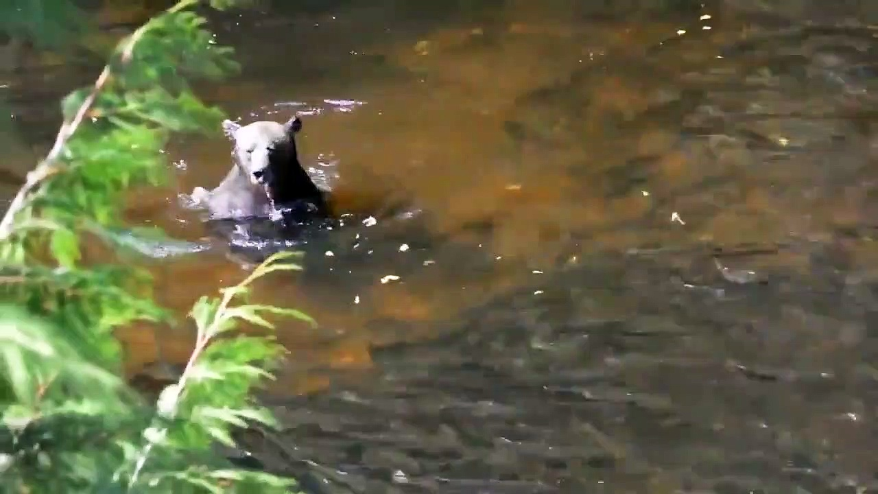 A bear is embedded in a fish pond – miraculous fishing