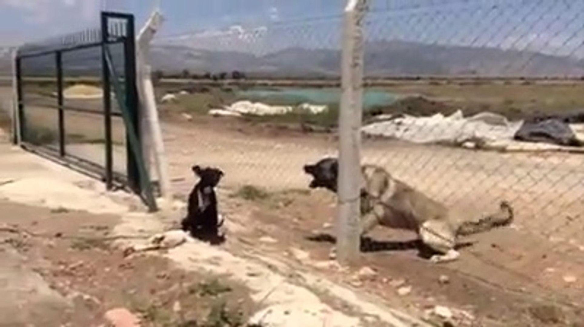 PiTBULL ve COBAN KOPEGi ATISMASI - PiTBULL DOG VS ANATOLiAN SHEPHERD DOG