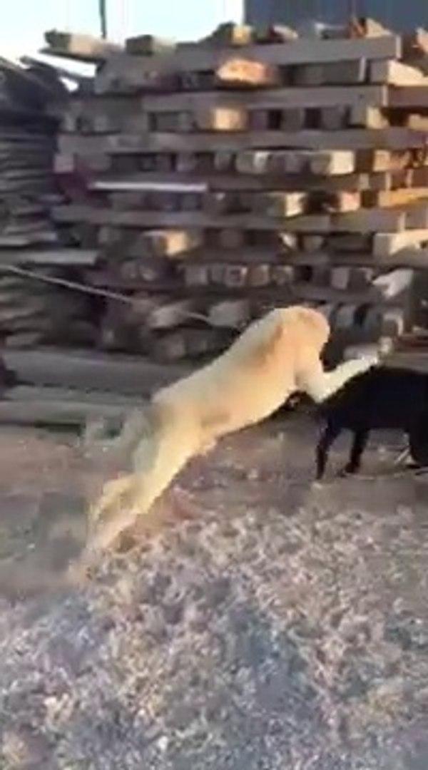 PiTBULL ve COBAN KOPEGiNiN SERT KARSILASMASI - PiTBULL DOG VS ANATOLiAN SHEPHERD DOG