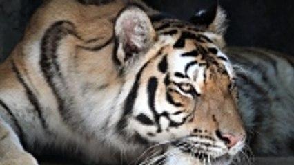 Les parfums les plus chers attirent les tigres !