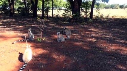 Los lémures se perfumen para seducir a las hembras