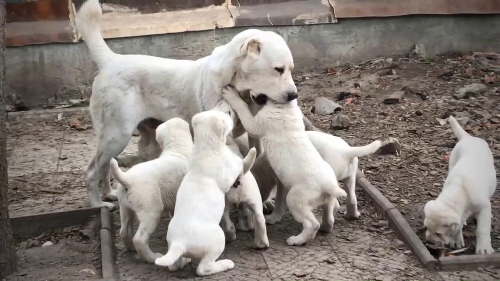 ALABAYLAR ve YAVRU KOPEKLER - ALABAi SHEPHERD DOG and ALABAi PUPPiES
