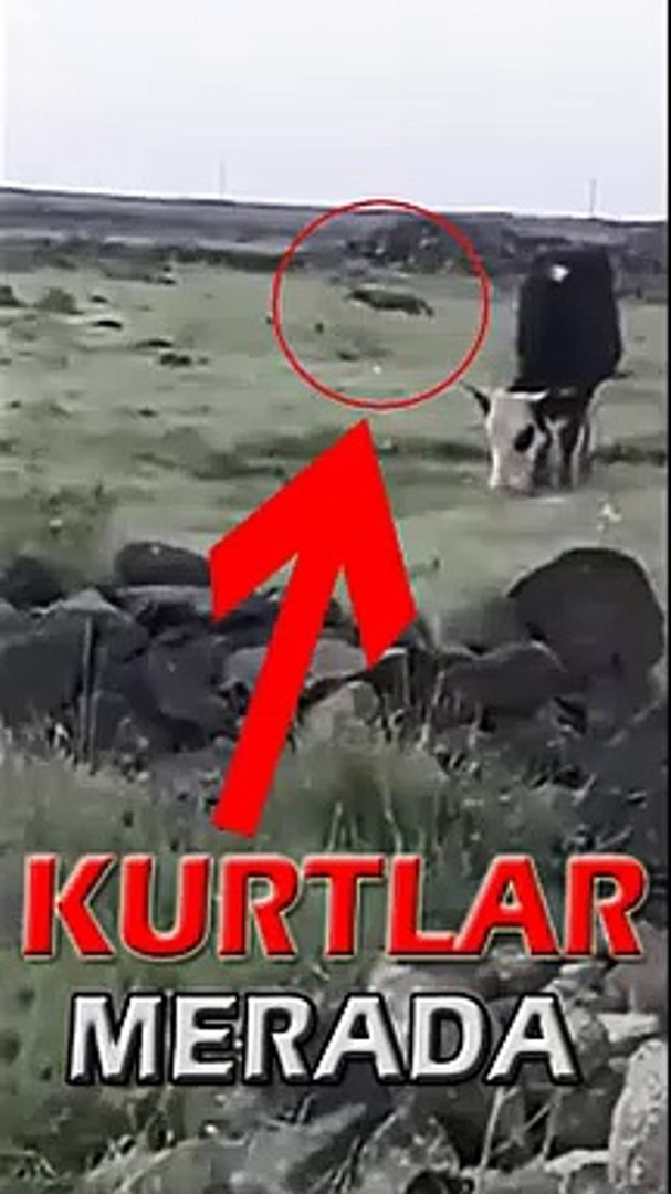 KURTLAR MERALARA iNDi - WOLVES in the MEADOW