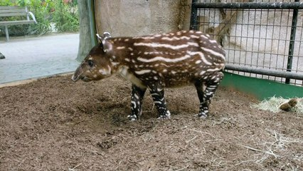 Baby Tapir Gets Bottle Fed after Mother Couldn't Care for Him