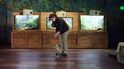 Giant, Adorable Rodent Learns Commands Like a Dog