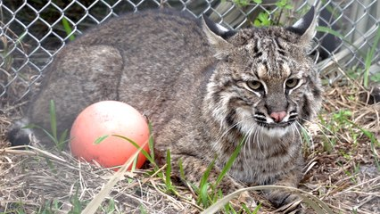 Recovering Bobcat's Second Doctor Visit