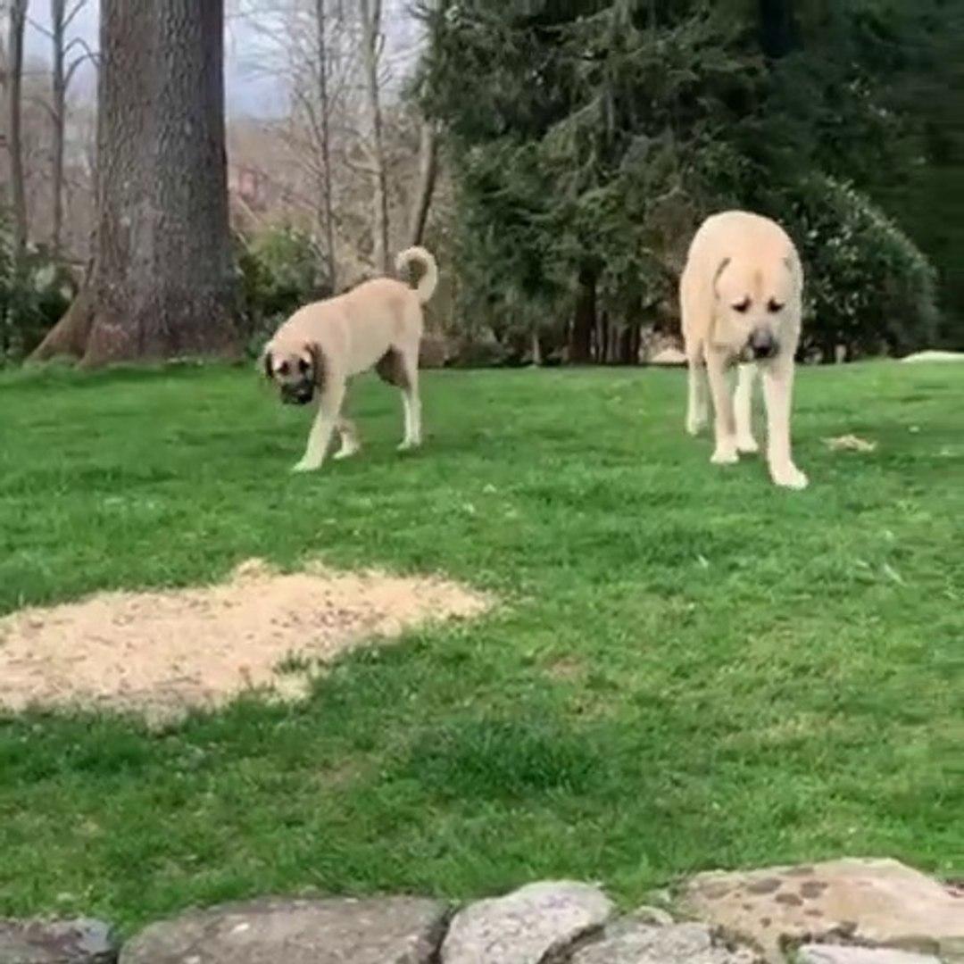 MALAKLI COBAN KOPEKLERi AVRUPADA - MALAKLI SHEPHERD DOG in EUROPA