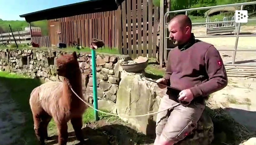 Los alemanes se relajan viendo alpacas y llamas por videollamada