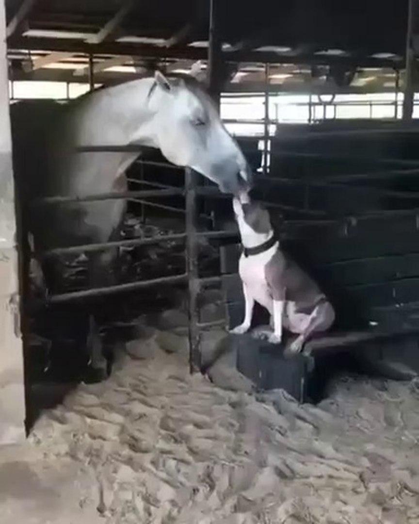 AT VE PiTBULL KOPEGi - HORSE and PiTBULL DOG