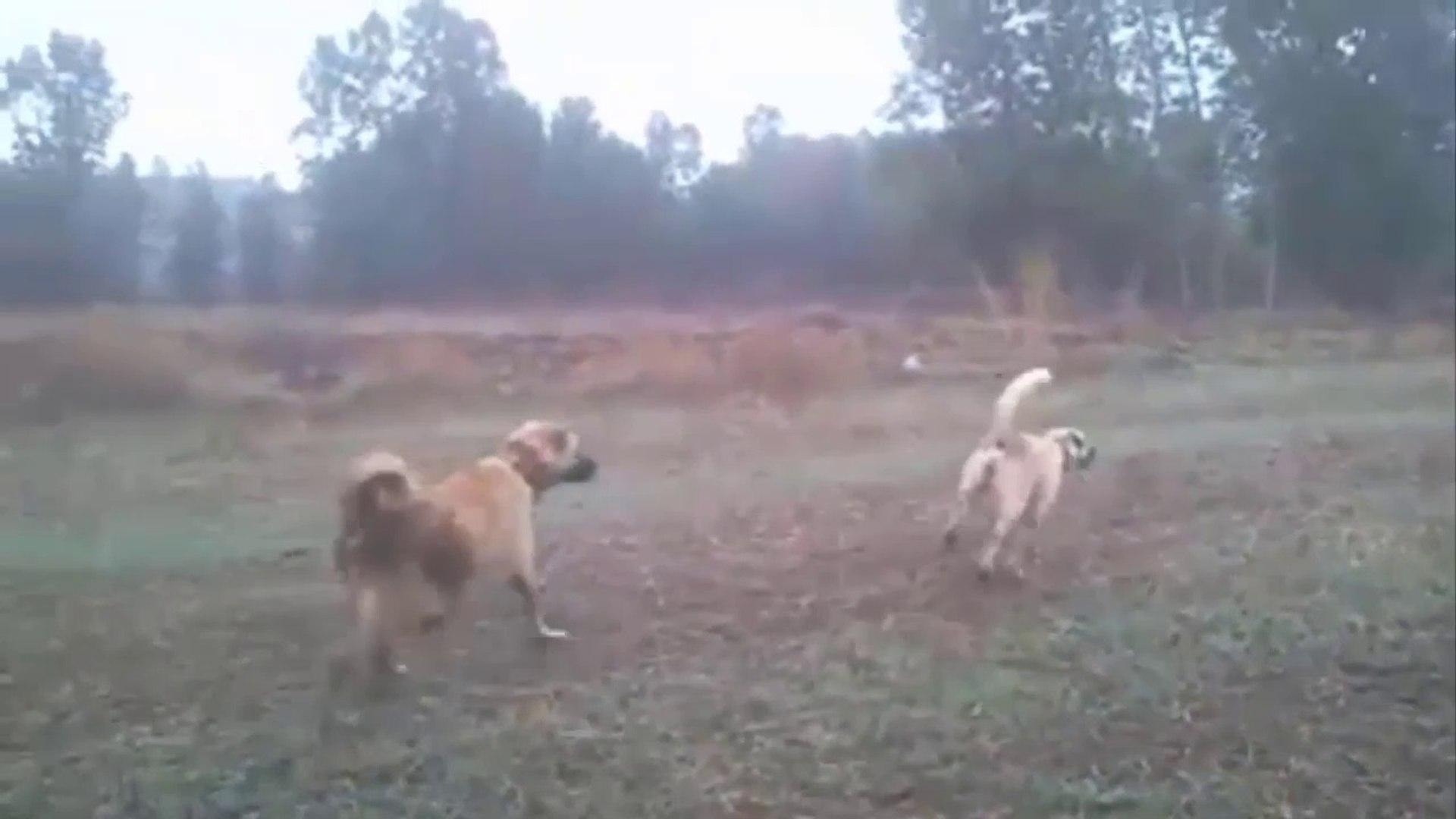SiVAS KANGAL KOPEKLERi KURT DEVRiYESi - KANGAL SHEPHERD DOGS WOLF WATCH
