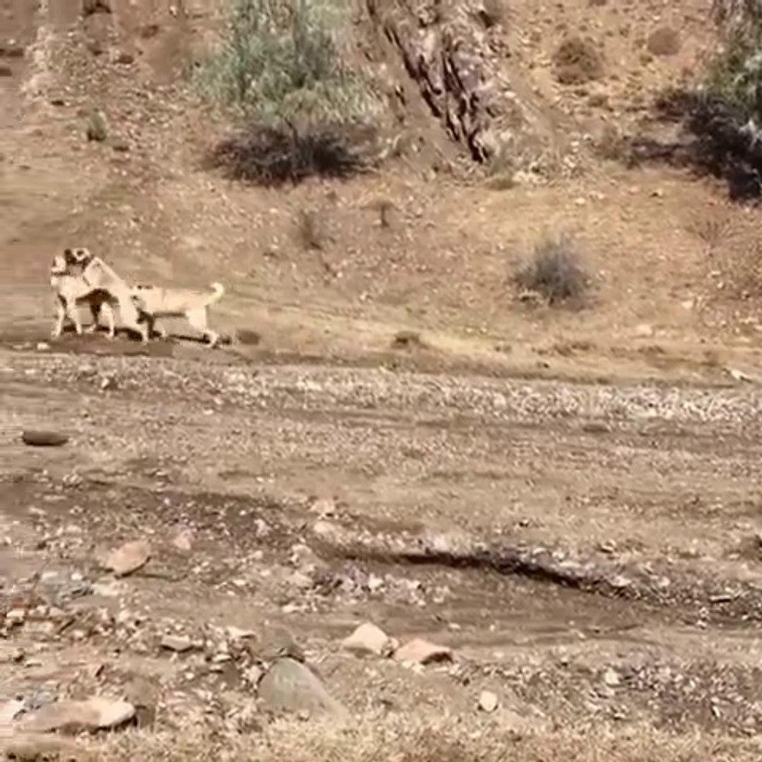 KANGAL KOPEKLERiNDEN YANLIS ANLASILMA ANLARI - KANGAL SHEPHERD DOGS