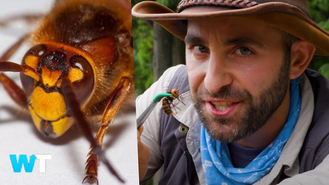Giant Murder HORNETS Scare Millions After Spotted in USA and What You Need To Know
