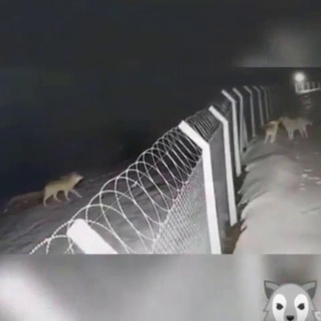 KANGAL KOPEKLERiNi GOREN KURDUN GECE BASKINI - WOLF and KANGAL SHEPHERD DOGS NİGHT