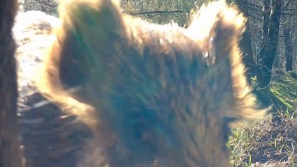 Wild Boars Get Up Close And Personal With Trail Cam