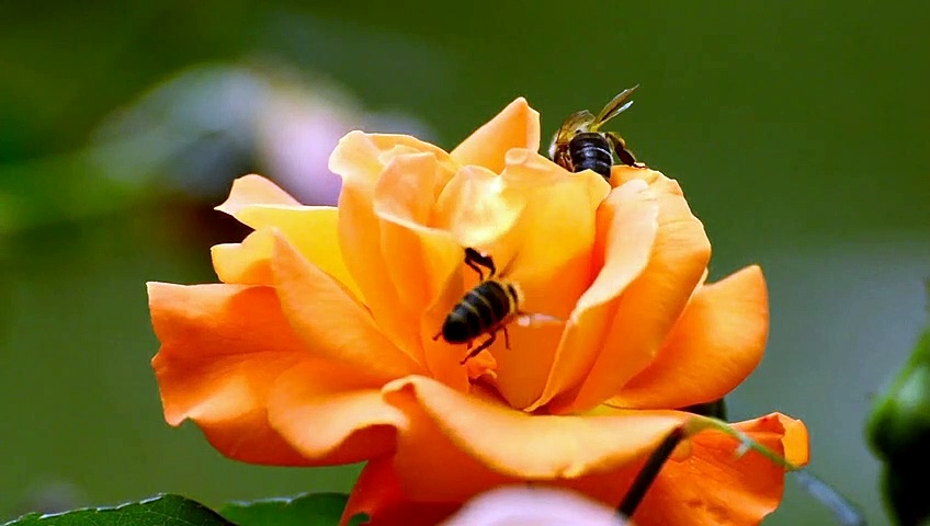 Bees#flower#honey collection