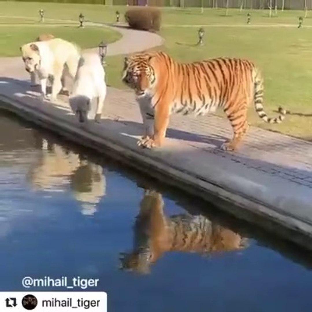 ALABAY COBAN KOPEKLERi ve KAPLANLAR BiRARADA - ALABAi DOGS and TiGERS TOGETHER