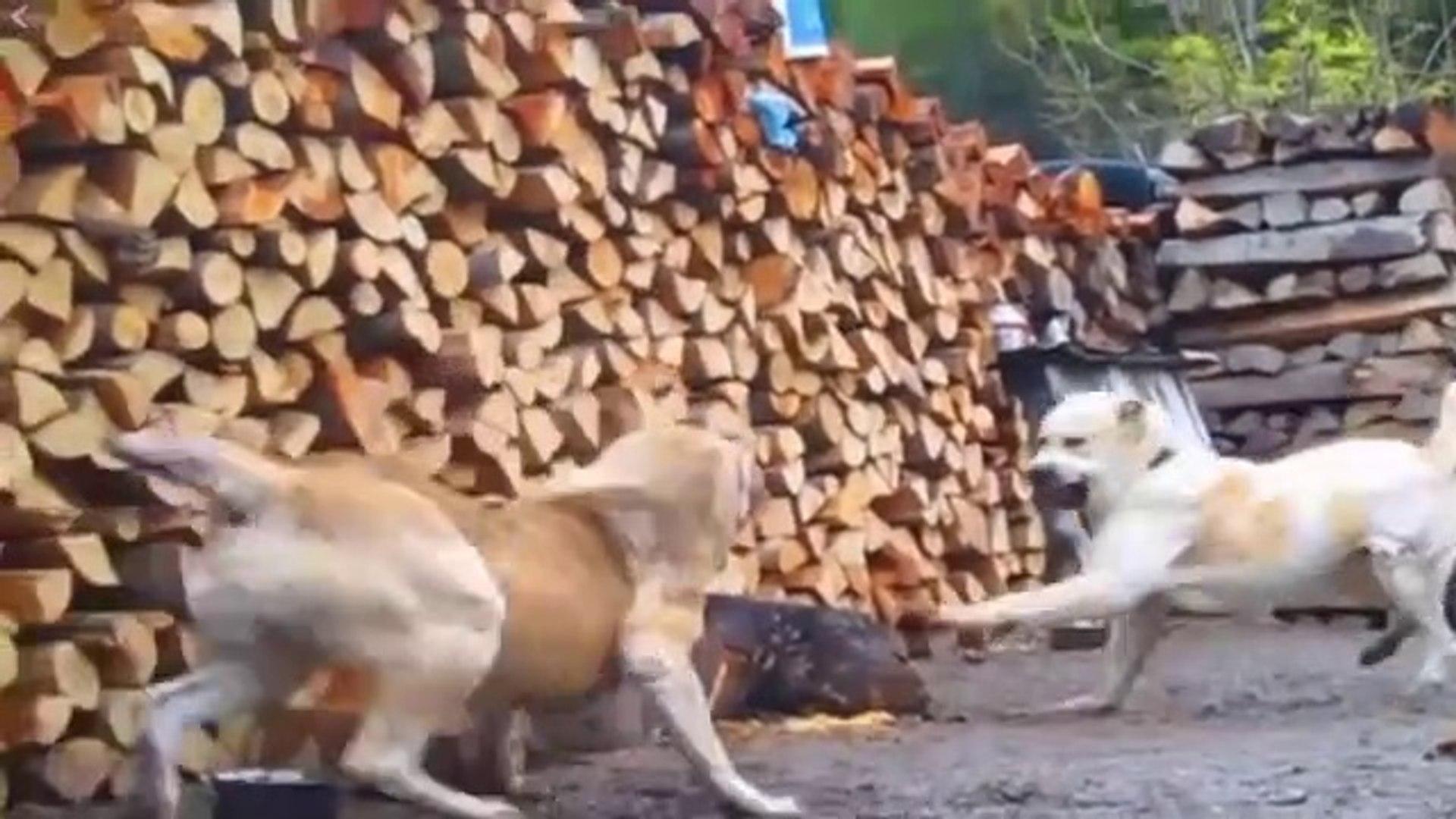 ALABAY VS ALABAY COBAN KOPEGi - ALABAi VS ALABAi SHEPHERD DOG