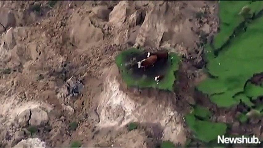 Những chú bò may mắn sau trận động đất 7,5 độ Richter tại New Zealand   Godialy.com