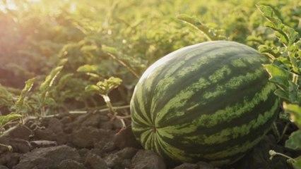 So findest du die perfekte Wassermelone