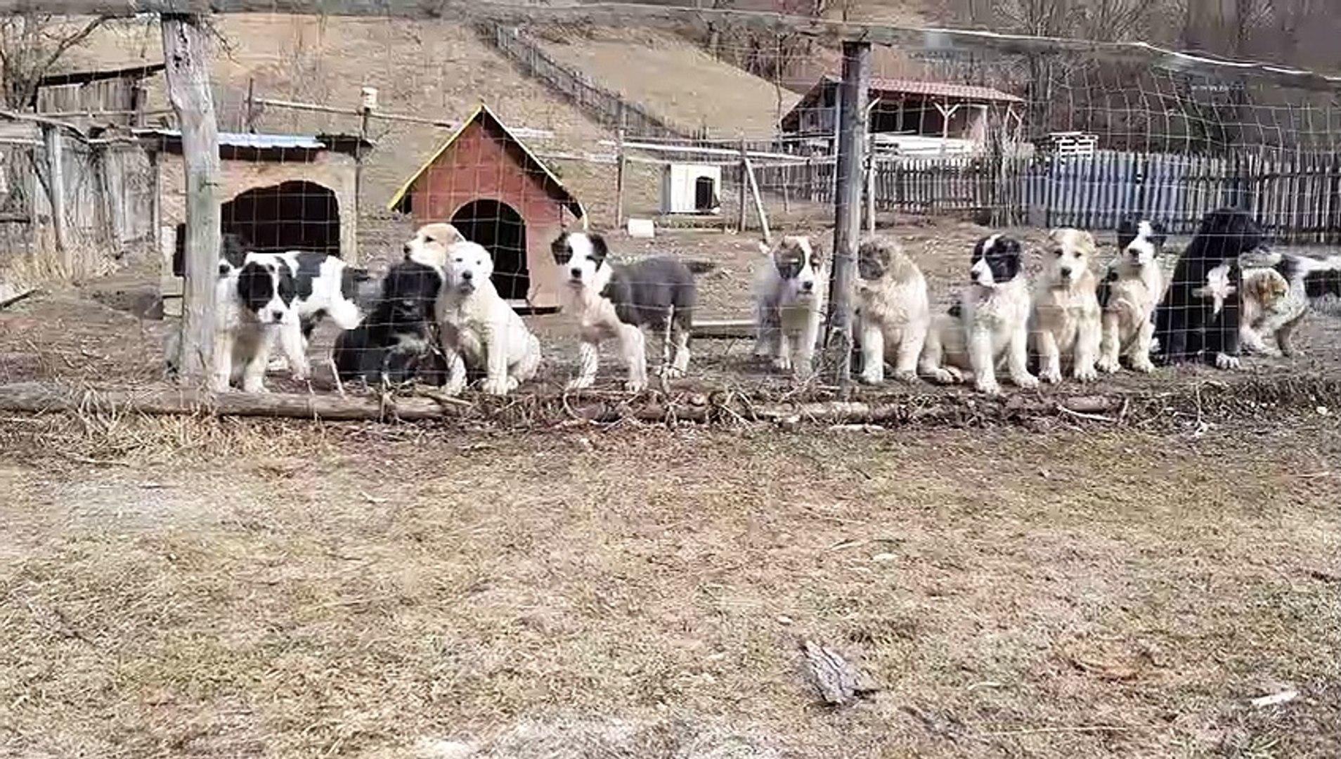 BiR DUZiNE ALABAY COBAN KOPEGi YAVRULARI - ALABAi SHEPHERD DOG PUPPiES FARM