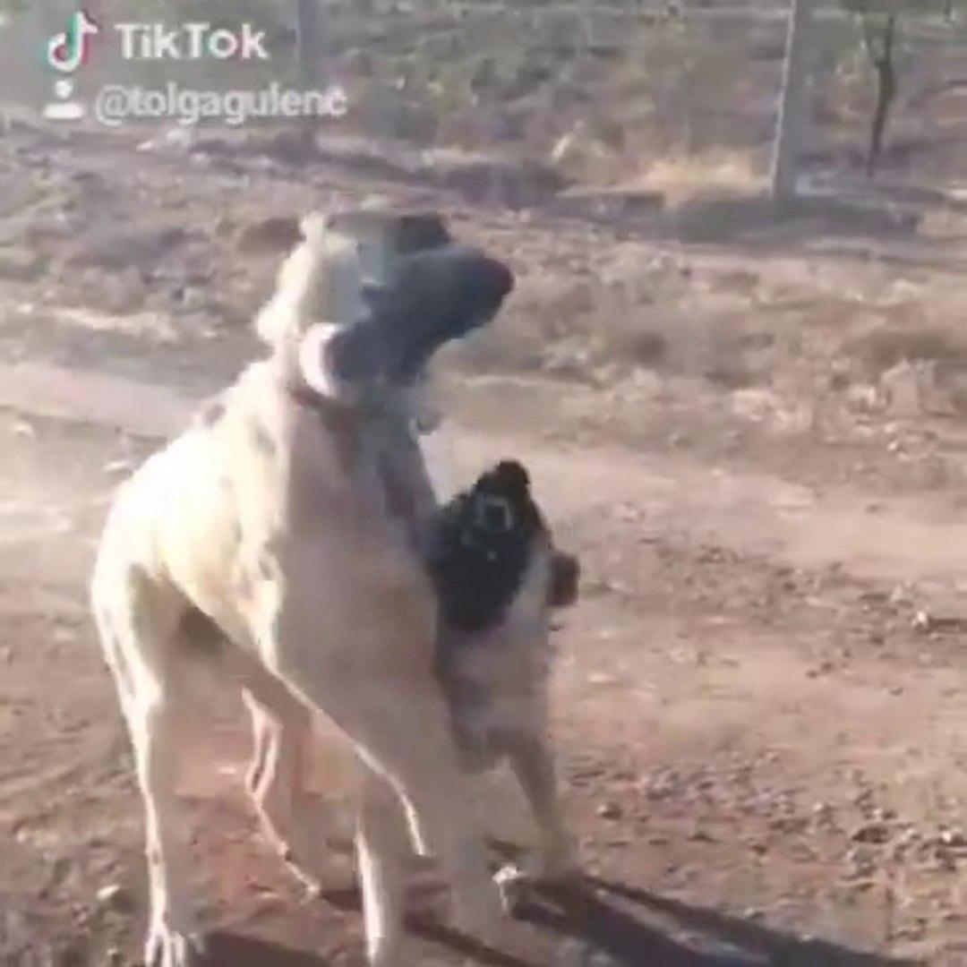 COBAN KOPEKLERiNiN SERT OYUNLARI - ANATOLiAN SHEPHERD DOG ANGRY PLAY GAME