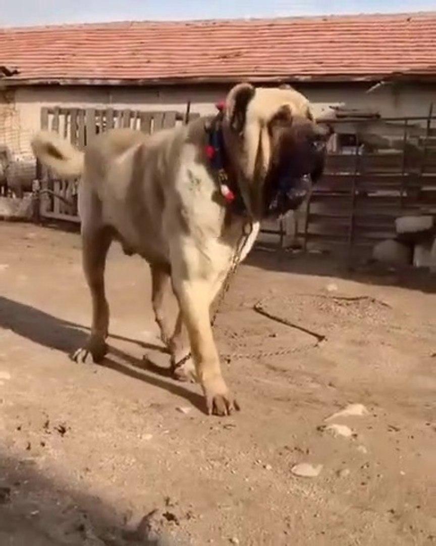 DEV MALAKLI COBAN KOPEGi - GiANT ANATOLiAN MALAKLI SHEPHERD DOG