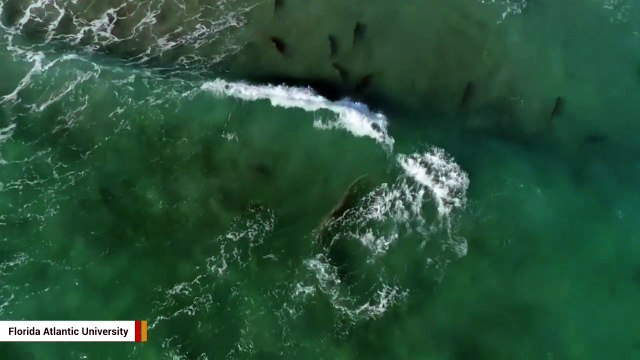 Incredible Drone Footage Shows Blacktip Sharks Escaping Attack By Swimming To Shallow Waters