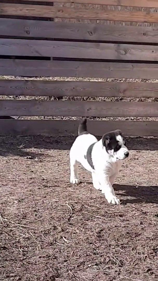 SEViMLi ALABAY YAVRUSU BAHCEDE GEZiNTi - CUTE ALABAi SHEPHERD DOG PUPPY WALK GARDEN