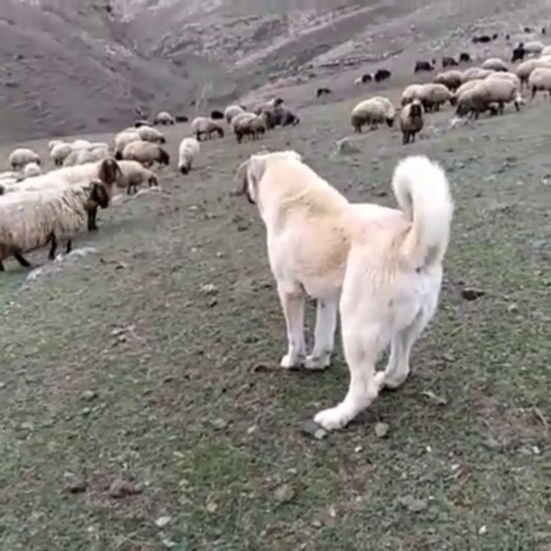 SiMiT KUYRUK KANGALDAN KURTA GOZ DAGI - KANGAL SHEPHERD DOG and SHEEP MiSSiON