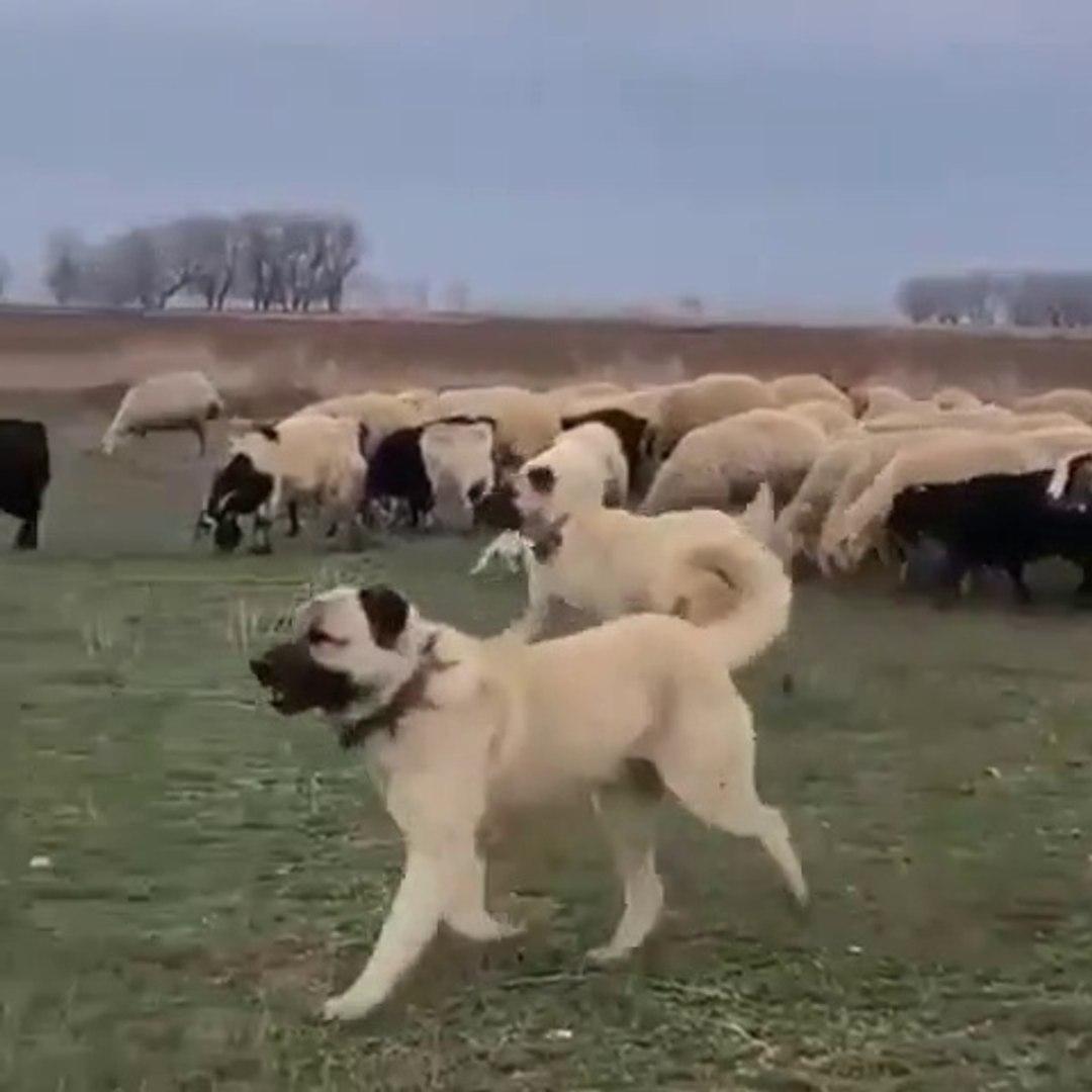 KANGAL KOPEKLERi GOREVLERiNDE PUR DiKKAT - KANGAL SHEPHERD DOGS at MiSSiON